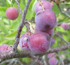 Beach Plum Shrub, Prunus maritima, Seeds