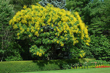 Golden Raintree, Koelreuteria paniculata, Tree Seeds (Fast, Fall Color, Showy)