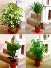 TRADITIONAL EVERGREEN INDOOR HOUSE TREE PLANT @ POT rubber ficus golden king fig