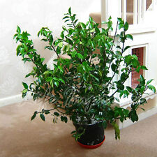 Holly Red Berry Iles mes Heckenfee Evergreen Shrub Plant in 20cm Pot