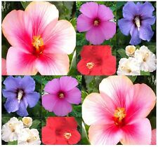 BULK Shrub Rose Althea H. syriacus ~ Rose of Sharon Seeds - VIBRANT MIX HIBISCUS
