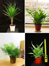 40-55CM EVERGREEN INDOOR HOUSE PLANT @ POT Peace Lily Palm Bamboo Ficus Dracaena