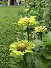 Flower Seeds U Choose (Listing 1) Perennial and Annual
