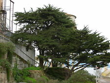 Monterey Cypress, Cupressus macrocarpa, Tree Seeds (Evergreen, Bonsai)