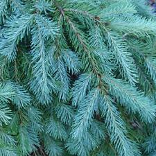 Blue Douglas Fir, Pseudotsuga menziesii glauca, Tree Seeds (Fragrant Evergreen)