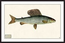 "Salmo Thymallus, reworked giclee print of an original etching by ""Bloch Fishes"""