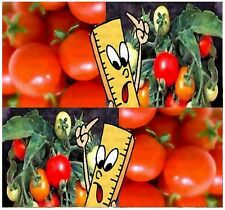 MICRO TOM Tomato Seeds ~ PLANT YOU OWN SMALLEST TOMATO PLANT IN THE WORLD - 85 -