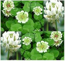 White Dutch Clover Seeds - nectar source for bees and butterflies FRAGRANT Z 4-9