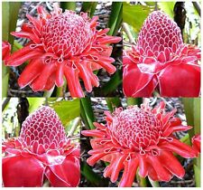 RED Torch Ginger Plant, Seeds - Etlingera elatior - Perfect House Plant - EXOTIC