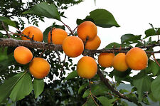 Mandchurian Apricot, Prunus armeniaca mandshurica, Tree Seeds (Fast, Fall Color)