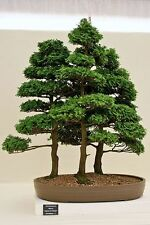 Hinoki Cypress, Chamaecyparis Obtusa, Tree Seeds (Evergreen, Bonsai)