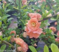 Cameo Flowering Quince plants ( chaenomeles ) ( 1 gallon )