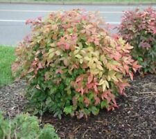 Firepower ( Dwarf ) Nandina Heavenly Bamboo plants ( 1 gallon )