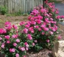 "Pink ""Double"" Knockout Rose plants ( 4"" pots )"
