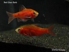 Red Glass Barb - Puntius conchonius Cyprinidae Freshwater Tropical Fish FREE S&H