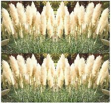 WHITE PAMPAS GRASS seeds - ORNAMENTAL & DECOR - Feather Duster  -  Zones 7 - 10