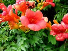 Trumpet Creeper, Campsis radicans, Vine Seeds (Showy, Attracts Hummingbirds)