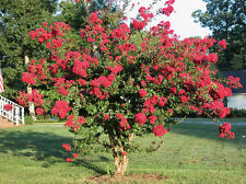 Crape Myrtle, Lagerstroemia indica, Tree Seeds (Fast, Showy)