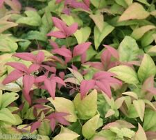 Blush Pink Nandina Heavenly Bamboo - Live Plant - Trade Gallon Pot