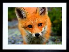BABY FOX WOODLAND ANIMAL WILDLIFE PHOTO FRAMED ART PRINT F12X191