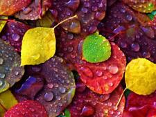 Multi-Colored Aspen Leaves with Rain Drop Photographic Print by Burden, Russell