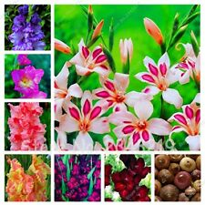 Gladiolus Bulbs, Not Gladiolus Seeds, Rare Gladiolus Bulbs - 10 Bulbs