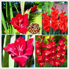 Gladiolus Bulbs, Not Gladiolus Seeds, Flower Symbolizes Longevity, Red