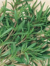 Summer Savory  Seeds - Every herb garden needs Savory seeds!--Free Shipping!!!!