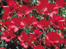Scarlet Flax - Masses of deep red blooms!!! Easy to grow! Vigorous growing!!!