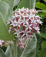 Showy Milkweed - Perfect for home landscaping and use in the butterfly garden !!