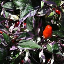 Calico Pepper seeds - A beautiful and extremely hot ornamental pepper!!!