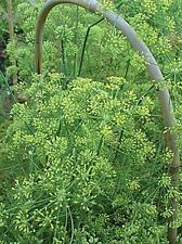 Dill Dukat Seeds-Grown primarily for its abundant foliage And Boy! What a taste