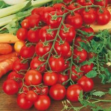 Tomato Ciliegino Seeds - A famous, sweet Sicilian cherry tomato!! Hundreds!!!!