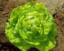 Lettuce Seeds - Butterhead 'White Boston' - Nice
