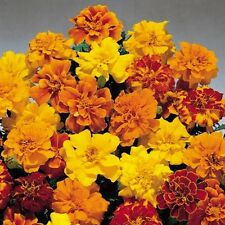 French Marigold 'Petite Mix' - A profusion of showy all double flowers !!!!