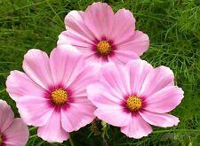 Cosmos 'Daydream' - Pale pink with a deep rose pink center! A Lovely cut flower!