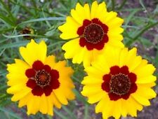Plains Coreopsis - Very generous bloomer - Easy to grow!! 2  to 3 feet tall !!!!