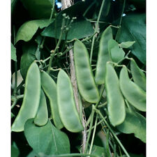 Early Thorogreen Bush Lima Bean - Heirloom dwarf plant is a big yielder!! WOW!!