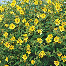 Maximilian Sunflower Seeds-4-inch bright golden yellow flowers!Great fresh cut !