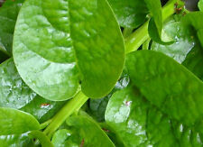 Malabar Spinach (Green Stem Variety) - Excellent for stir-fry cooking or RAW!!!!