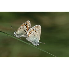 Buckeye Butterflies Mating' Photography Gallery-wrapped Canvas