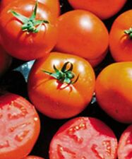 Sub Arctic Maxi Tomato Seeds - A very early medium sized red tomato - Free Ship!