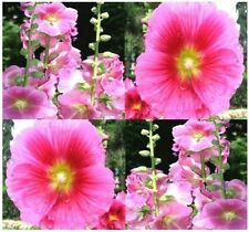 Alcea rosea (Hollyhock) Seeds - Attracts both hummingbirds and butterflies!!!!