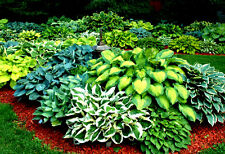 Choice of 60 Different Kinds of RARE Hosta Seeds! 10 Seeds per Pack - Comb. S/H