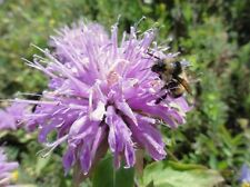 "Wild Bergamot Seeds-Also called ""Oswego Tea."" A favorite of butterflies & bees!"