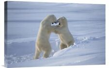 'Polar Bear Males Sparring, Churchill, Manitoba, Canada' Photographic Print