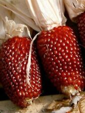 Popcorn Seed: Red Strawberry Popcorn Seeds Fresh Seed  FREE Shipping