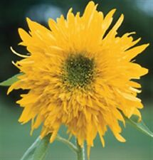 Sunflower Seed: Double Quick Orange Sunflowers  Fresh Seed  FREE Shipping