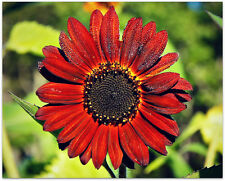 Sunflower Seed: Red Sun Sunflower Seeds    Fresh Seed   FREE Shipping