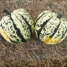 Squash Seed:Hearts of Gold Squash Seeds Fresh Seed  FREE Shipping!